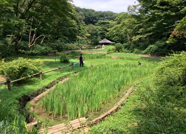 MJ Iris garden